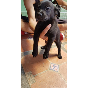 Cachorros De Labrador Negros