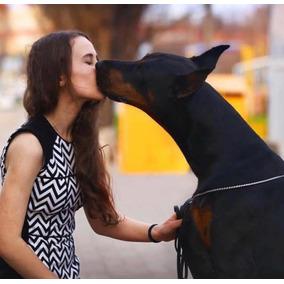 Doberman Cachorros Disponibles