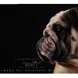 Inseminación Artificial A Domicilio Bulldog Inglés Y Otros