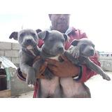 Exelentes Cachorritos Pitbull Blue Nose Envíos A Todo El Pa