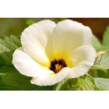 Chanana Xanana Flor P/ Apicultura 100 Sementes Plantio