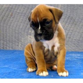 Cachorros Boxer Saludables Con Todos Los Papeles De Salud