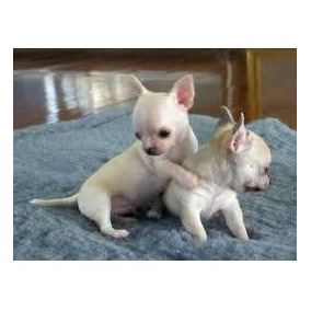Chihuahua Pelo Curto Pronta Entrega
