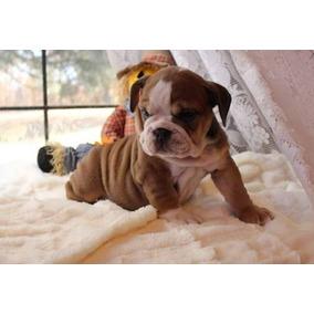 Aumentar Casa Cachorros Bulldog Inglés En Venta Ahora