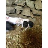 Ultima Hembra Minipig Juliana 2 Meses Mini Pig Cerdo Super