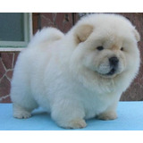 Cachorros Chow Chow Muy Saludables Para Adopcion