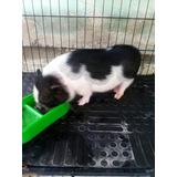 Minipig Mini Cerdo