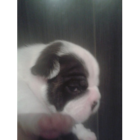 Bulldog Frances Disponivel