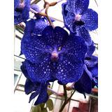 1 Muda Orquidea Vanda Azul