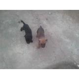 Perritos Criollos En Adopcion