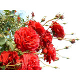 10 Semillas De Rosal Trepador Planta Exótica