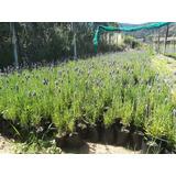 Plantas Lavandas Francesa Desde 10 Unidades