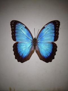 Mariposa Morpho Azul Helenor