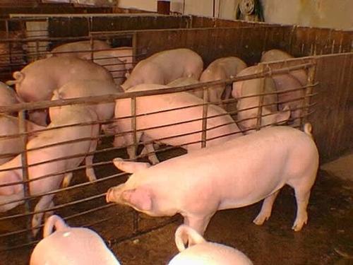 Corrida Financiera  Engorda De Cerdos-rentable