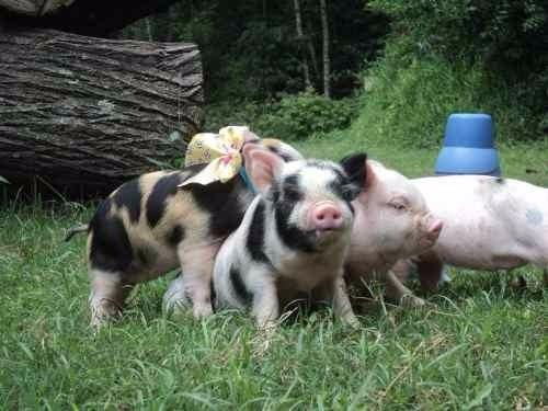Filhote Mini Porco Macho - Excelente Linhagem