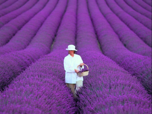 60 Sementes Importadas De Alfazema Lavanda Francesa Flor