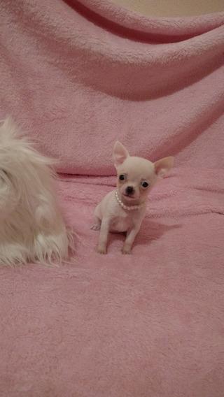 Chihuahua Hembra Blanca Micro Mini