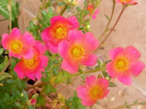 Verdolaga De Flor 50 Semillas Germina Fácil Sol Sdqro2