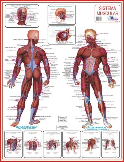 Mapa Dos Músculos - Fisiologia Enfermagem E Educação Física