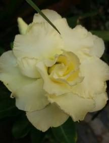 1 Rosa Do Deserto Amarelo Dobrada Muda Adulta