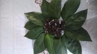 Mutamba - Tocantins - 650 Folhas + Sementes ..leia O Anuncio