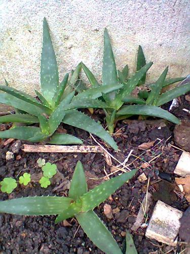 Imagen 1 de 4 de Aloe La Verdadera Planta, Se Venden Los Gajos En Maceta $65