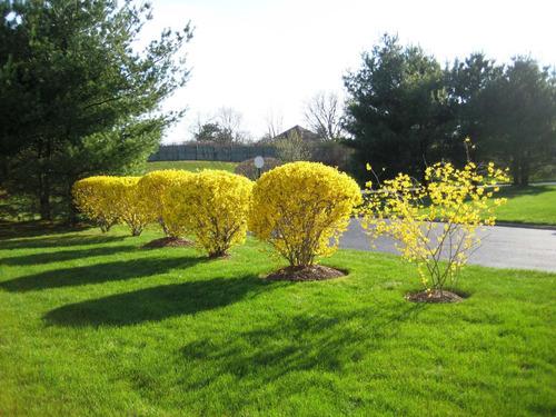 Forsythia Sino Dourado Cerca Viva Flor 30 Sementes P/ Mudas