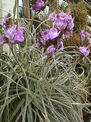 Tillandsia Streptocarpa - Bromelia