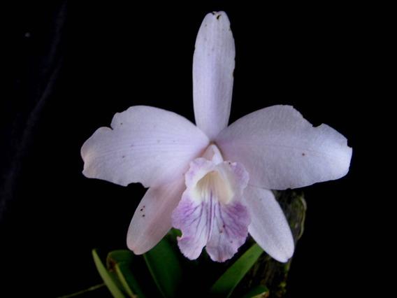 Orquidea Laelia Sincorana Var Coerulea