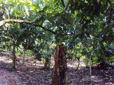 Vendo 5,000 Tareas De Cacao En Monte Plata