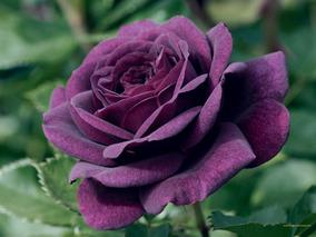 8 Tons De Rosas