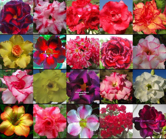 Rosas Do Deserto 50 Sementes De Adenium Obesum 30 Cores Mix