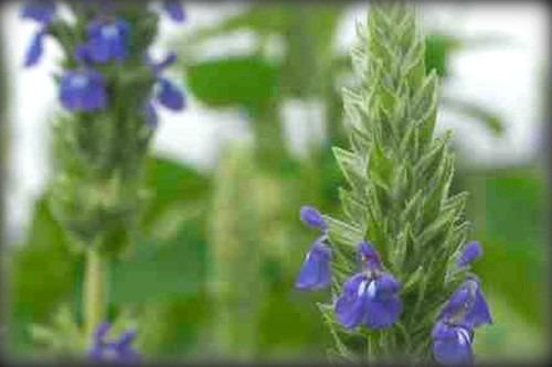 Salvia Hispanica Chía 800 Semillas Planta De  Sol Sdqro2