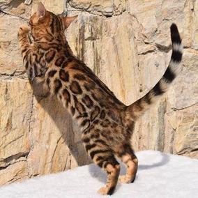 Gato Bengal - Linhagem Exclusiva ! Gatil Da Maria - Filhotes