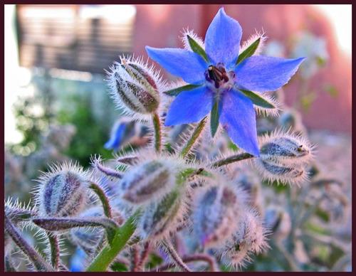 20 Sementes Borago Azul Borragem Flor Melifera E Comestível