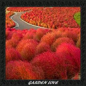 500 Sementes De Grama Vermelha (kochia) + Como Plantar