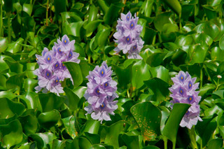Camalote Aguapey Eichhornia Crassipes Planta Acuática Nativa