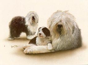 Ilustração / Cartão Inglês Old English Sheepdog