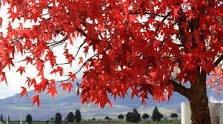 Liquidambar Hermoso Árbol Otoña En Rojo