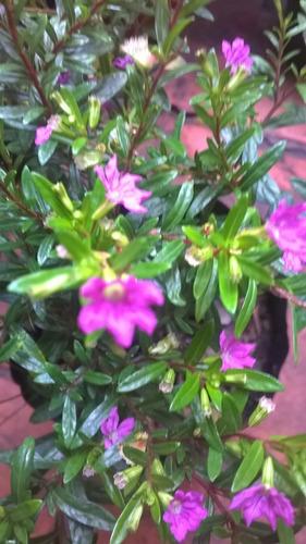 Cufias- Arbustos Decorativos Con Florcitas-