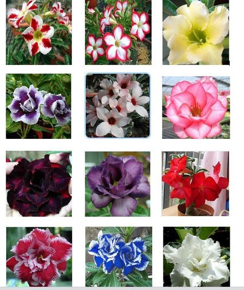 12 Sementes De Rosa Do Deserto 12 Cores 1 De Cada - Raras