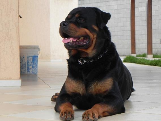 Filhote Rottweiler Alemão Focinho Curto