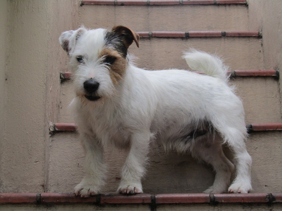 Jack Russell Terrier - Pelo Broken Pirata - Para Monta - Fca