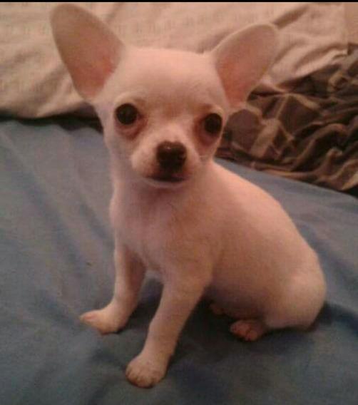 Chihuahua Blanco Muy Mini