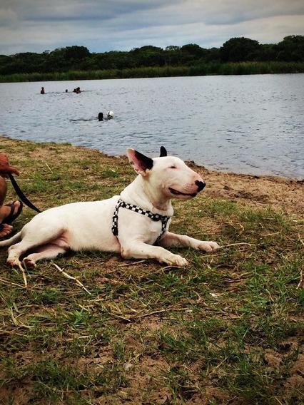 Padreador Bull Terrier Para Cruzamento E Filhotes