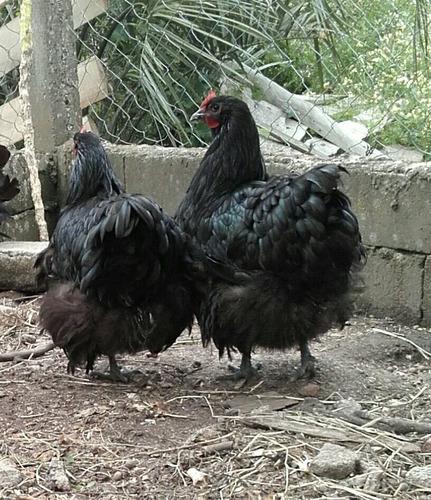 Imagen 1 de 10 de Huevos Fértiles De Orpington Negro Y Legorn