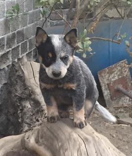 Cachorros Pastor Ganadero Australiano / Blue Heeler.