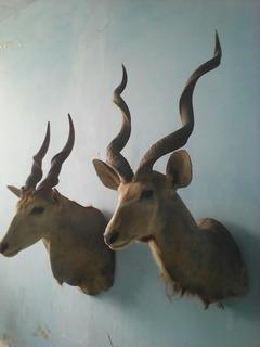 Csbezas De Antilope
