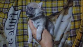 Linda Fêmea De Chihuahua C/pedigree Cbkc.