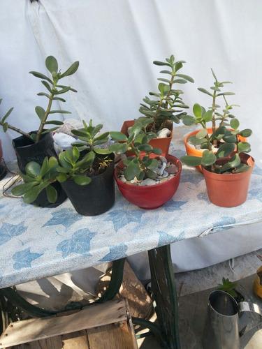 Regale Vida !!! Plantas Arbol De Jade O Arbol De La Fortuna